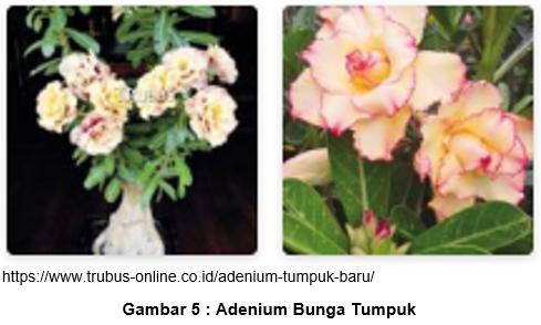 adenium 5